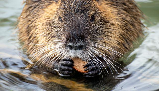 Nutria, Coypu, Rodent, Water, Eat, Food, Bread, Nager