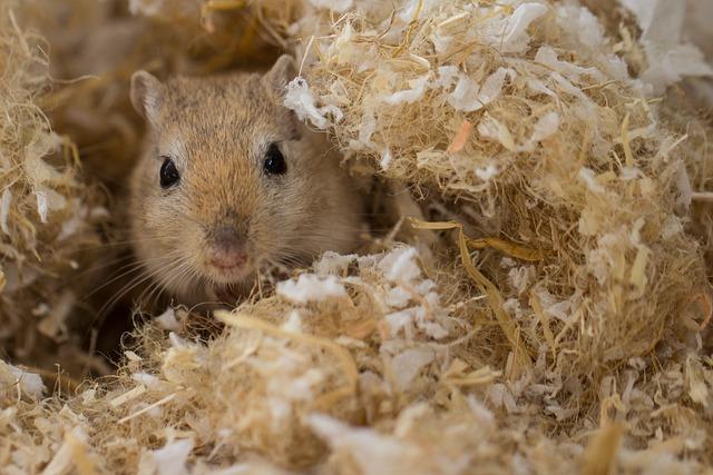 Racing Mouse, Gerbil, Rodent, Nager
