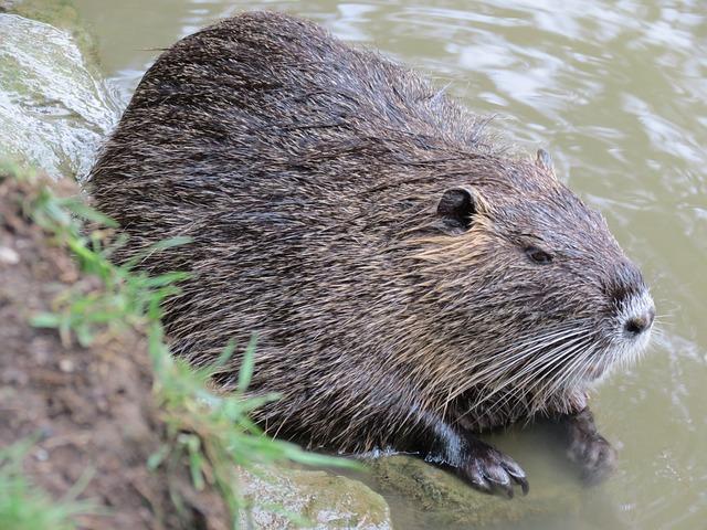 Nutria, Nature, Aquatic Animal, Rodent, Animal World