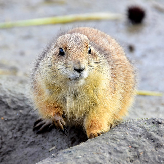 Rodent, Mammals, Prairie Dog, Wildlife, Animal Kingdom