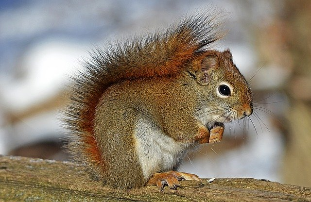 Red Squirrel, Rodent, Nature, Wildlife, Animal