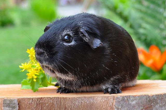 Guinea Pig, Rodent, Animal, Smooth Hair, Silver Fox