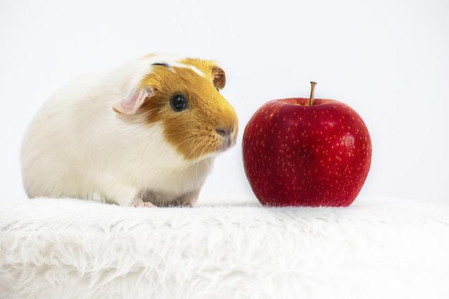 Pet, Guinea Pig, Rodent, Apple, Sweet, White