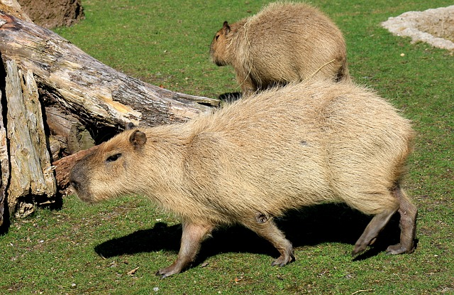 Capybara, Rodent, Zoo