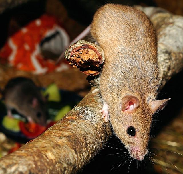 Mastomys, Mice, Rodents, Climb, Branch, Fur, Close Up
