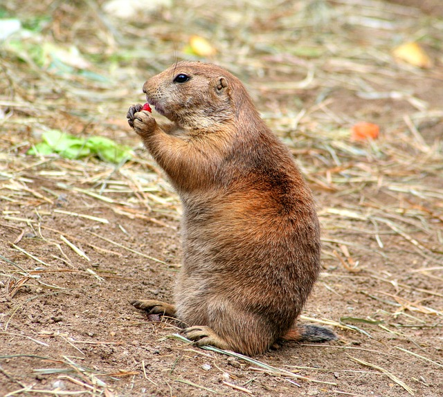 Prairie Dog, Gophers, Croissant, Rodents, Cynomys
