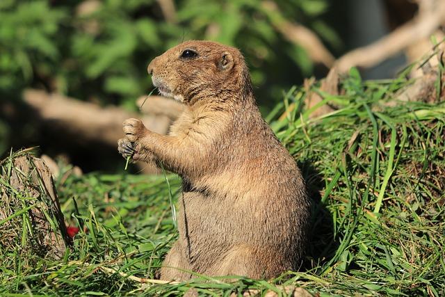Prairie Dog, Rodents, Rodent, Mammals, Salzburg, Zoo