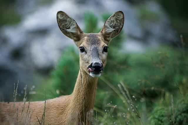 Roe, Animals, Mammal, Nature, Wild, Animal