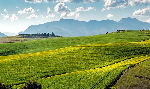 Canola Fields, Green, Rolling Hills