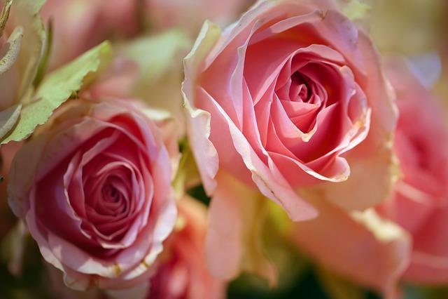 Rose, Flower, Petal, Love, Floral, Give, Romance