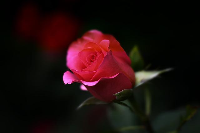 Rose, Flower, Nature, Floral, Romance, Love, Red, Pink