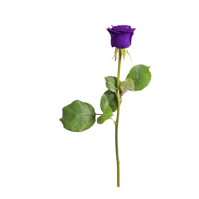 Rose, Isolated, Love, Flower, Violet, Romance