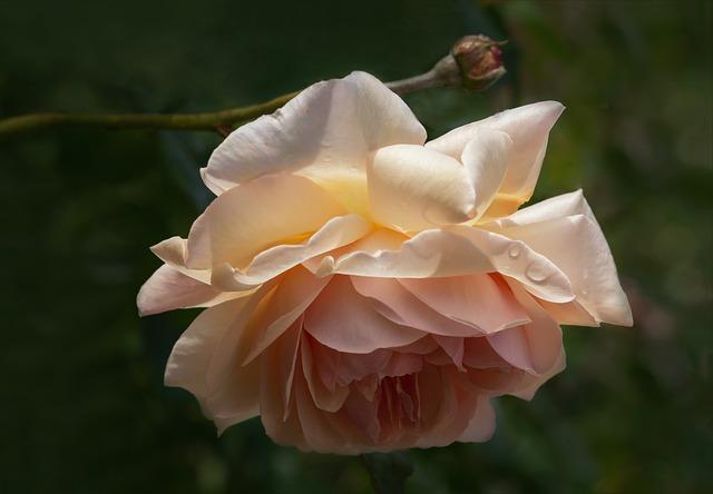 Roses, Nature, Flowers, English Roses, Romance, Garden
