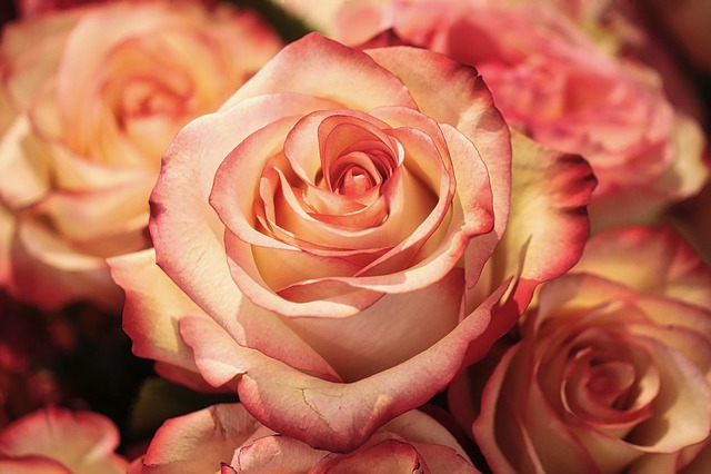 Rose, Flower, Petal, Romance, Wedding, Affection