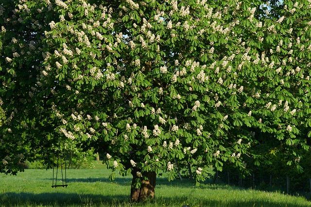 Chestnut Tree, Swing, Romantic, Isolated, Chestnut