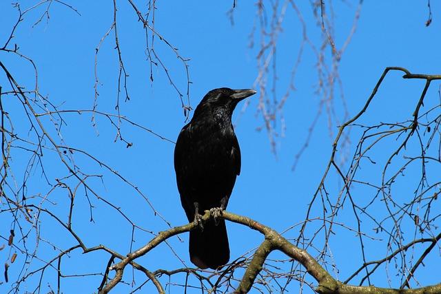 Crow, Corvus Frugilegus, Rook, Raven Bird, Songbird