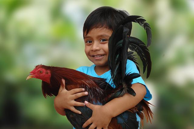 Roosters, Child, Animal, Happy, Pet