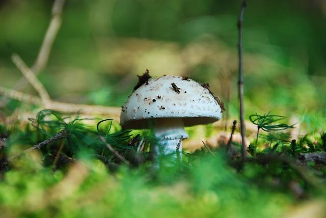 Root Champignon, Mushroom, White, Edible