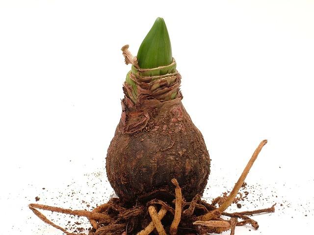 Amaryllis, Plant, Root, Amaryllis Plant, Early