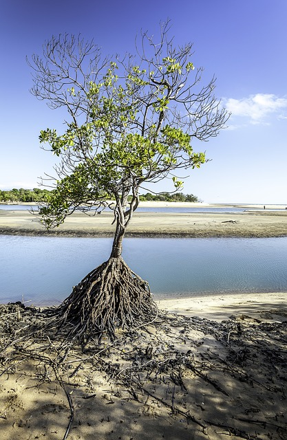 Tree, Roots, Townsville, Saunders, Beach, Mangrove