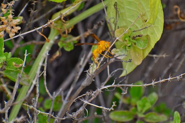 Paper Wasp, Ropalidia Marginata, Social Insect