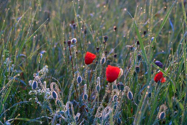 Meadow, Poppies, Dawn, Rosa, Drops, Wild, Uncut, Plants