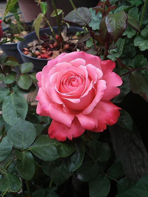 Rosa, Flower, Petal, Plant, Flowering