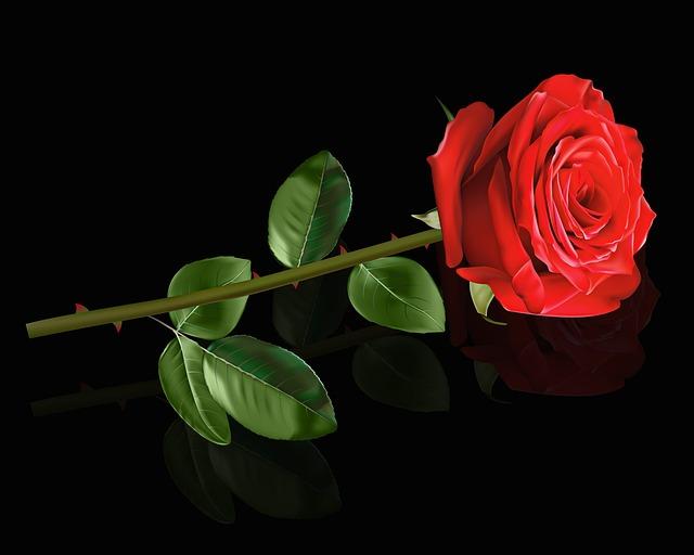 Flower, Rosa, Plant, Nature, Leaf, Red Rose, Reflection