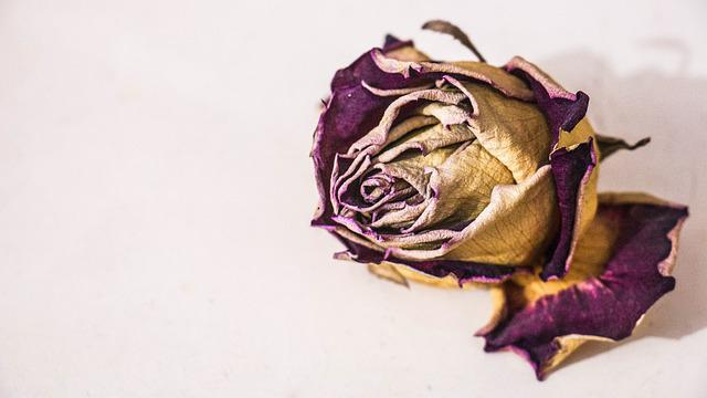 Flower, Rosa, Death, Withered, Garden, Petal, Red Rose