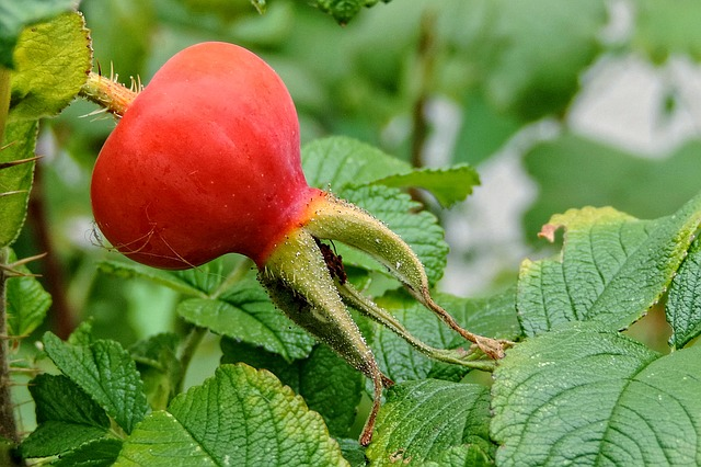 Potato Rose, Wild Rose, Rosa Rugosa, Rose Greenhouse