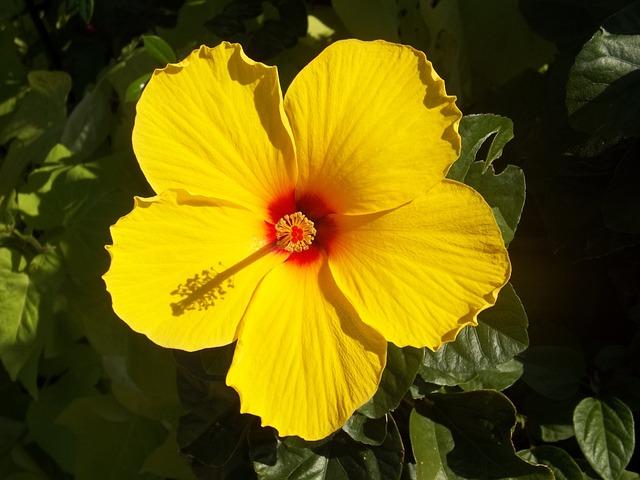 Hibiscus, Yellow, Flower, Rosa Sinensis, Hawaiian