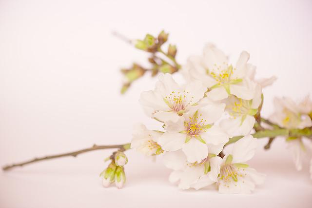 Almond Blossom, Flowers, Almond, White Flower, Rosa