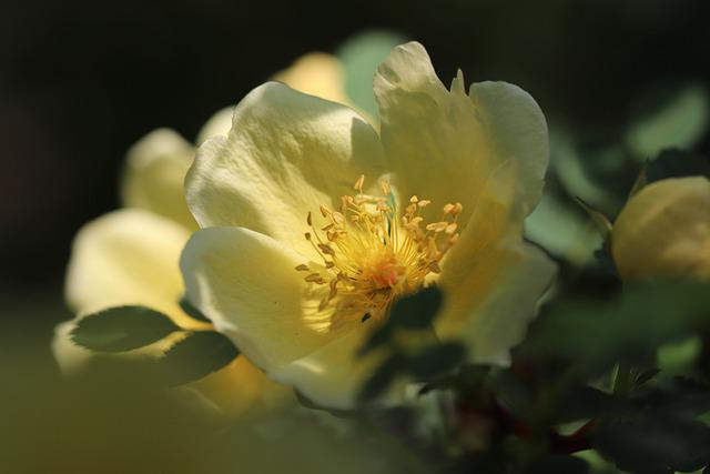 Rose, Gold Yellow Rose, Rosa Xanthina, Blossom, Bloom