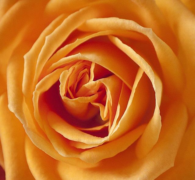 Rose, Pink, Rosacae, Blossom, Bloom, Flower, Summer