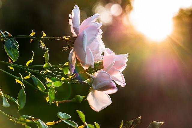 Rose, Sunset, Sun, Sunbeam, Back Light, Prisms