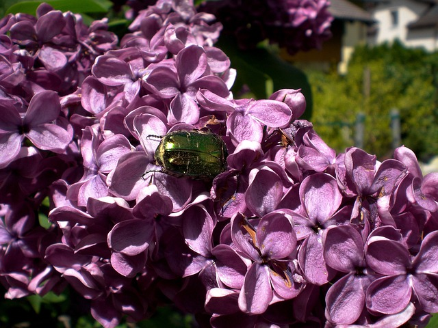 Rose Beetle, Shiny Rose Gold Beetle, Beetle