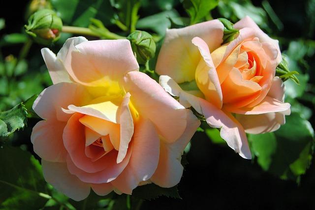 Roses, Rose Bloom, Blossom, Bloom, Rose Blooms