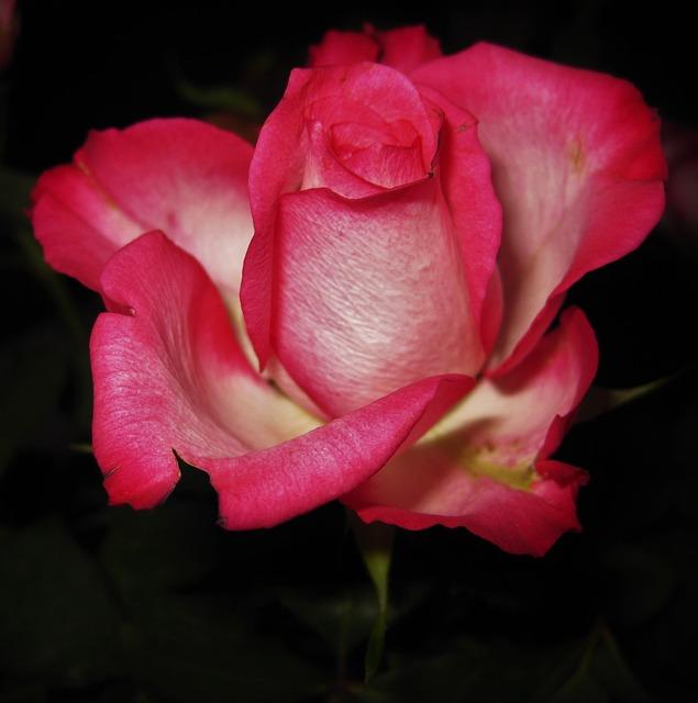 Rose Bloom, Rose, Flower, Blossom, Bloom, Fragrance