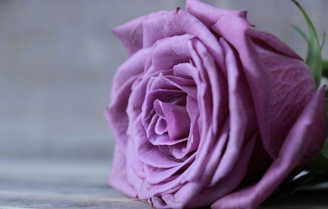 Rose, Floribunda, Rose Bloom, Blossom, Bloom, Flower