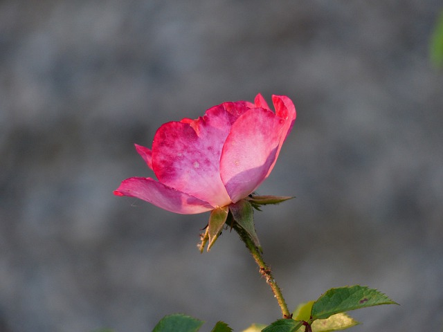 Rose, Flower, Pink, Flowers, Blossom, Bloom, Back Light