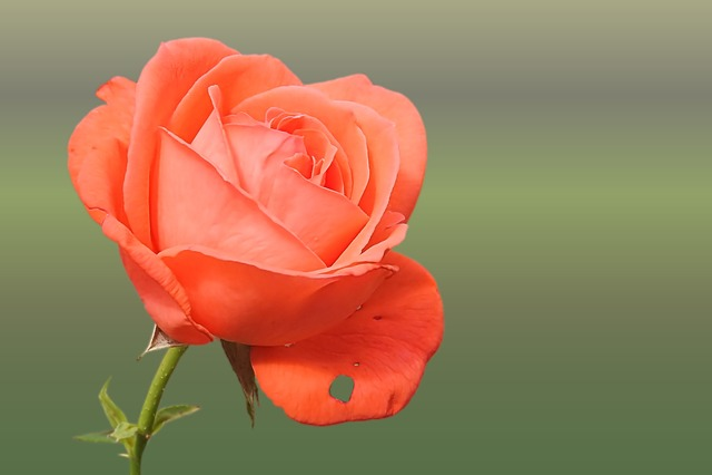 Rose, Orange, Salmon, Rose Blooms, Blossom, Bloom