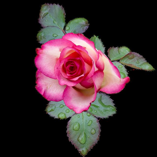 Rose, Rose Bloom, Pink, White, Flower, Blossom, Bloom