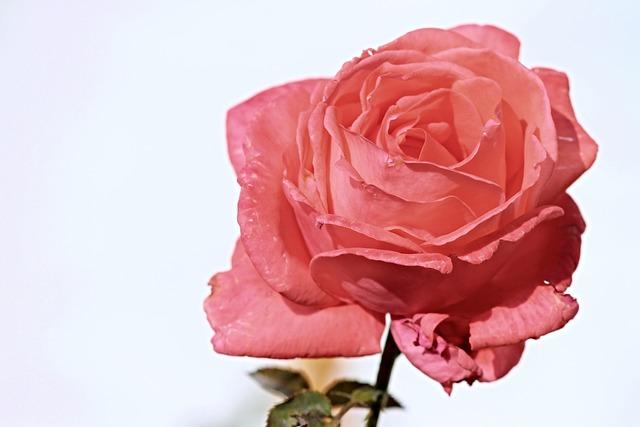 Rose, Pink, Salmon, Pink Rose, Rose Bloom, Blossom