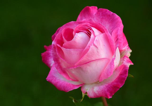 Rose, Pink, Pink Rose, Rose Bloom, Blossom, Bloom