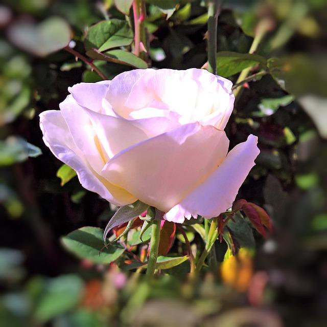 Plant, Floribunda, Rose Bloom, White, Pink Transparent