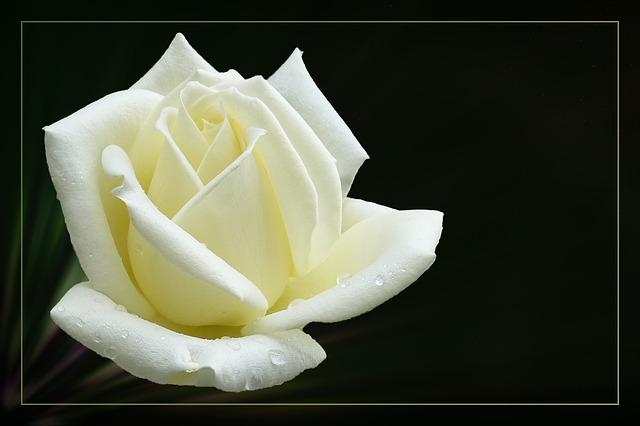 Rose, Floribunda, Rose Bloom, Blossom, Bloom