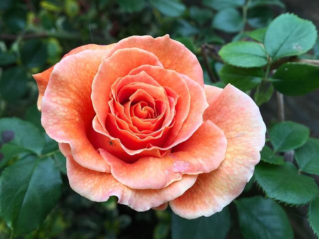 Rose, Blossom, Bloom, Flower, Rose Bloom, Floribunda
