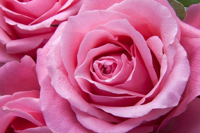 Roses, Pink, Family, Rose Family, Flora, Plant, Tender
