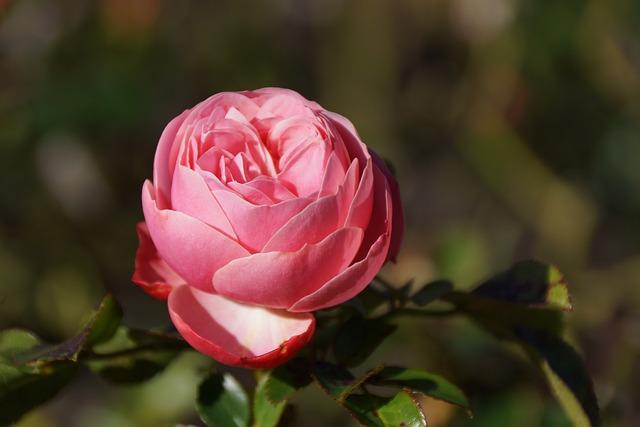 Flower, Pink, Rose, Flora, Leaf