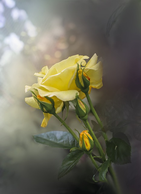 Flower, Rose, Flowers, Beauty, Garden, Color, Yellow